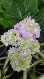 hydrangea Royalty-vrije Stock Foto