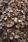 hydrangea Royalty-vrije Stock Afbeeldingen