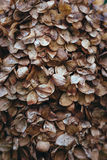 hydrangea Στοκ εικόνες με δικαίωμα ελεύθερης χρήσης