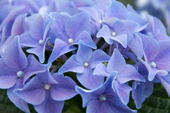hydrangea Photo stock