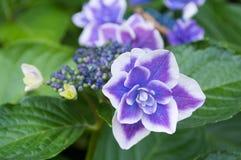 hydrangea Royaltyfria Foton