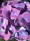 hydrangea Imagens de Stock