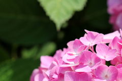 hydrangea Στοκ Εικόνα