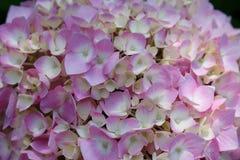 hydrangea Στοκ εικόνα με δικαίωμα ελεύθερης χρήσης
