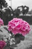 hydrangea Royaltyfri Bild