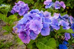 Hydrangea, also known as a hortensia plant stock image