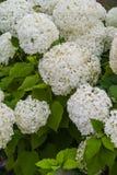 Hydrangea Annabelle Στοκ εικόνα με δικαίωμα ελεύθερης χρήσης