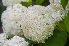 Hydrangea Annabelle Στοκ Φωτογραφίες