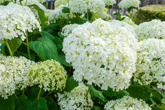 Hydrangea arborescens θερινά λουλούδια σφαιρών της Annabelle άσπρα Στοκ Εικόνες
