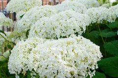 Hydrangea arborescens θερινά λουλούδια σφαιρών της Annabelle άσπρα Στοκ Φωτογραφία