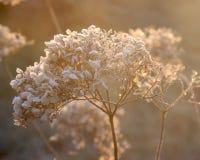 Hydrangea arborescens Annabelle Στοκ εικόνες με δικαίωμα ελεύθερης χρήσης