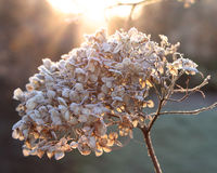 Frosty Hydrangea  Royalty Free Stock Photography