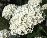 Hydrangea arborescens & x27 Annabelle& x27  Στοκ εικόνα με δικαίωμα ελεύθερης χρήσης