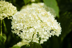 Hydrangea arborescens Stock Photography