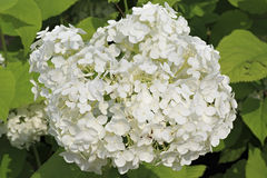 Hydrangea arborescens or sevenbark Royalty Free Stock Photography