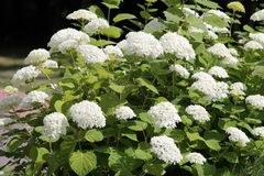 Hydrangea arborescens or Smooth hydrangea with white flowers and green foliage in garden stock photos
