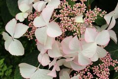 Free Hydrangea Aspera. Closeup Of Blooming White Flowers And Buds Stock Photos - 149591163