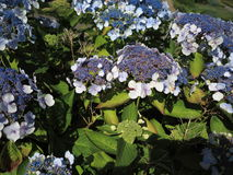 Hydrangea Aspera Macrophylla hortensia flowers Royalty Free Stock Photos