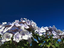 Hydrangea Aspera Macrophylla hortensia flowers Royalty Free Stock Photo