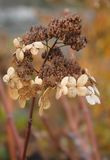 Hydrangea in autumn Stock Photo