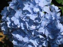 Hydrangea azul Fotografía de archivo