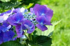 Hydrangea azul Imagenes de archivo