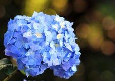Hydrangea azul Fotografia de Stock Royalty Free