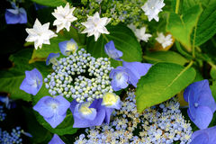 Hydrangea azul Foto de Stock Royalty Free