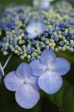 Hydrangea azul de Lacecap de la oleada Fotografía de archivo libre de regalías