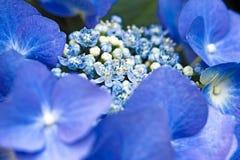 Hydrangea azul del casquillo del cordón fotografía de archivo