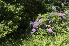 Hydrangea azul e cor-de-rosa Fotos de Stock Royalty Free