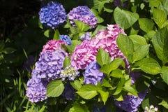 Hydrangea azul e cor-de-rosa Imagem de Stock
