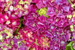 Hydrangea Background Royalty Free Stock Photography