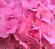 Hydrangea background Stock Images