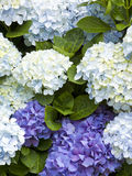 Hydrangea background Royalty Free Stock Image