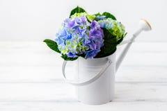 Hydrangea in bailer Stock Photo