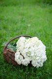 Hydrangea in basket Stock Image