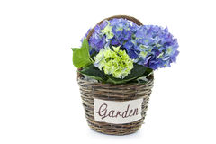 Hydrangea in basket Stock Photography