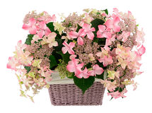 Hydrangea in basket Royalty Free Stock Photography