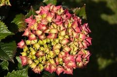 Hydrangea. Beautiful colored Hydrangea in the sun stock photo