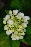 Hydrangea beautiful flower Stock Photo