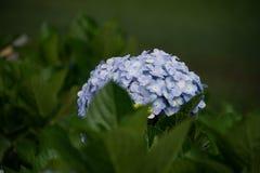 Hydrangea. Beautiful Hydrangea flower in the garden Royalty Free Stock Image