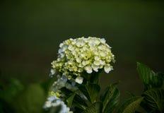Hydrangea. Beautiful Hydrangea flower in the garden Royalty Free Stock Photography