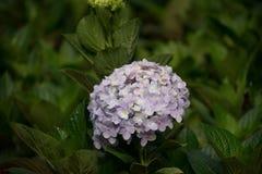 Hydrangea. Beautiful Hydrangea flower in the garden Stock Photography