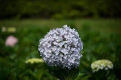 Hydrangea. Beautiful Hydrangea flower in the garden Stock Image