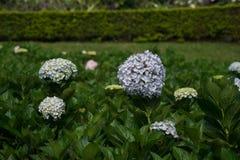 Hydrangea. Beautiful Hydrangea flower in the garden Royalty Free Stock Photos