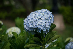 Hydrangea. Beautiful Hydrangea flower in the garden Royalty Free Stock Photo