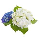 Hydrangea Royalty Free Stock Photo