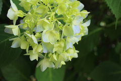 Hydrangea began coloring Royalty Free Stock Photography