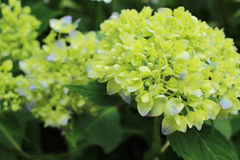 Hydrangea began coloring Royalty Free Stock Images